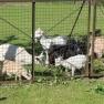 Schafe & Ziegen